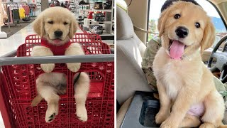 Funniest & Cutest Golden Retriever Puppies #20- Funny Puppy Videos 2020
