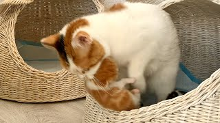 Cat carries kittens and hides them