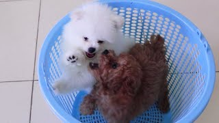 Cutest Pomeranian & Poodle Puppies | Funny Dogs Puppy | MR PET 3
