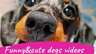 12 CUTE DOGS TRY NOT TO LAUGH FUNNY VIDEOS | CUTE DACHSHUND DOGS FUNNY VIDEOS COMPILATION
