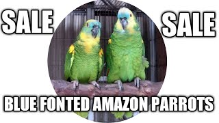 AMAZON PARROTS FOR SALE IN INDIA/AMAZON PARROT BIRDS PRICE IN INDIA/AMAZON BIRDS FOR SALE