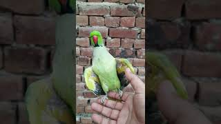 Cute Ringneck Parrot Love To Dance #Shorts