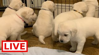 LIVE STREAM Puppy Cam! Labrador puppies at play!