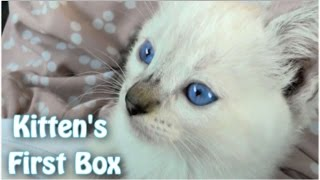 Kitty's First Cardboard Box  – Funny #Cat Video