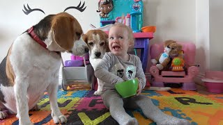 Protective Beagle Dogs Are Perfect Companions for our Baby