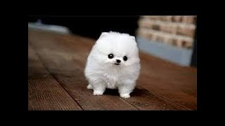 Cute Small Dogs|The Top Smallest Dog Breeds in the World|CUTE DOGS