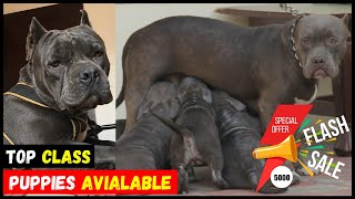 Top Class American Bully Pocket Size Puppies For Sale | SUPER QUALITY DOGS FARM | Quality Doggyz