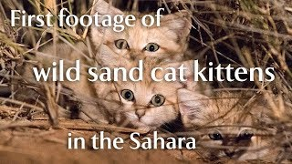 First footage of wild sand cat kittens