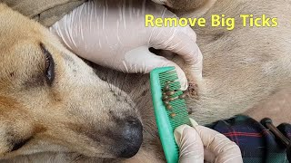 Rescue Remove Big Ticks From Cute Dog – Remove Ticks From Body #37