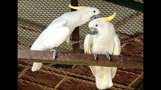funny cockatoo in bird park islamabad | white parrot in birds park