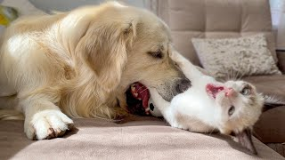 The Funniest Golden Retriever and Kitten Fighting for the Ball