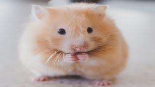 Funny Hamsters   A Cute And Funny Hamster Videos Compilation