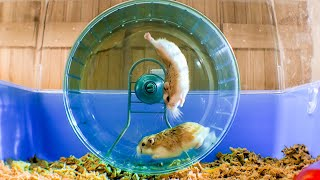 Russian Hamster Vs. Hamster Wheel! | Pets: Wild At Heart | BBC Earth
