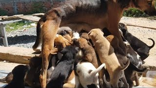 cleaning and give food for cute puppies and mom dog