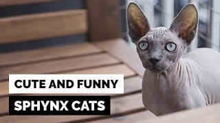 Sphynx Cats – Cute and Funny Compilation