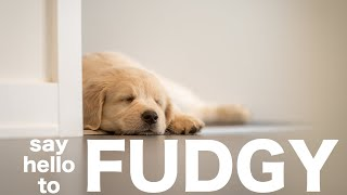 Introducing Fudgy the Golden Retriever Puppy