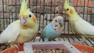 All beautiful cute birds at a glance.|ASMR||SATISFYING VIDEO||CUTEBIRDS||budgies||cockateils|