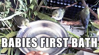 RESCUED BABY BIRD : FIRST EVER BATH 3 Weeks Old Baby, Japanese White Eye Birds, Warbling HONG KONG