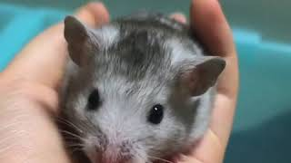 Cute and Funny Hamsters Videos 2019 🐹 DienMsm #25