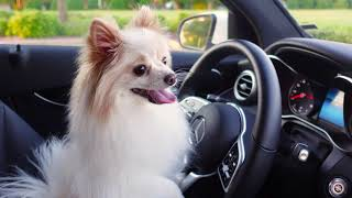 Dogs Crushing Glass by Car! [FUNNY DOGS DRIVING CAR]