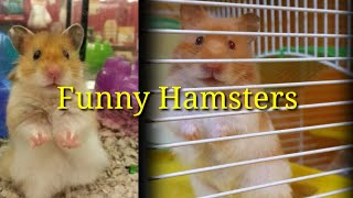Funny hamsters joging