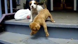 Funny Dogs – Puppies Can't Use Stairs Compilation!