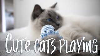 Cute CATS playing | Ragdolls Pixie and Bluebell