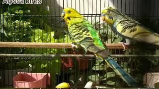 Funny Parrot and Cute Birds / Beautiful Budgies Bird