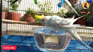 Cute Birds Bathing ! Budgies bird enjoy with water