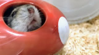 🐹Playful Hamster [cute hamster Vlog]