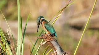 Funny Birds – Common Kingfisher drops a fish – filmed on Panasonic GX85