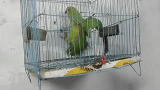 Cute Birds Budgies Parrots For Breeding