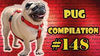 Pug Compilation 148 – Funny Dogs but only Pug Videos | Instapug