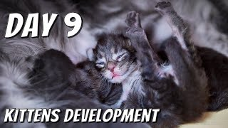 Maine Coon kittens development   From 0 to 10 weeks day by day   DAY 9