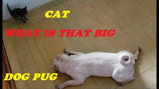 Funny Dogs Videos Sitting On Cats Face – Kittens get scared when the pug approaches