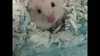 Cute and Funny Hamsters Videos 2019 🐹 DienMsm #16