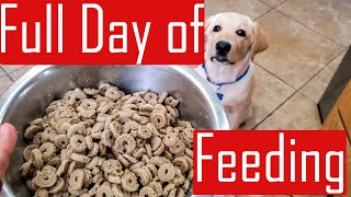 Full Day of Feeding our Labrador Puppy – What Buddy Eats in a Day (Food Chart)