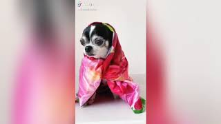 CHIHUAHUA TIKTOK COMPILATION | Cute and funny dogs from TikTok