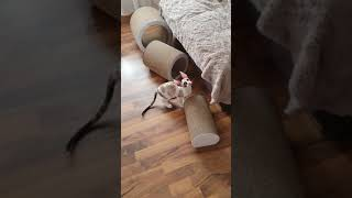 Cornish Rex cats, 16 weeks old Kittens,  females. Kittens playing. Seal tortie point with white.