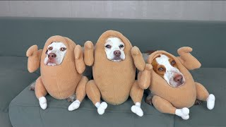 Funniest Dog Halloween Costumes Compilation: Funny Dogs Maymo, Potpie & Penny Trick-orTreat Bonanza