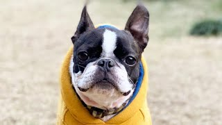Boston Terrier funny dogs. Animal story