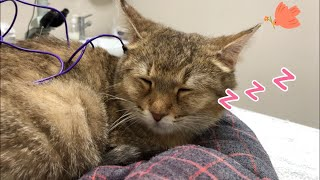 Cute Cats And Kittens |Super stable cat receives acupuncture treatment