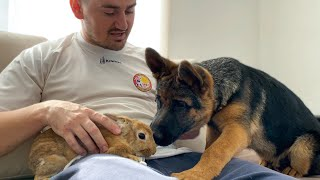 German Shepherd Puppy Meets Bunny Sam for the First Time!