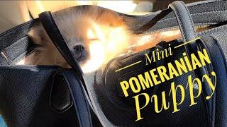 Mini Pomeranian puppy –  funny and cute pomeranian puppies – funny dogs videos – best of cutes puppy