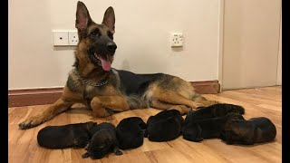 German shepherd Giving birth to 9 puppies –  (First Litter)