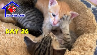 Baby kittens fighting with each other – Day 26 Kitten learning to be a real cat