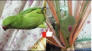 Play with curtains|green Parrot |My cute birds 🐦