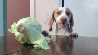 Dog Steals Cabbage : Cute Dog Maymo