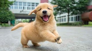 Funniest & Cutest Golden Retriever Puppies – 30 Minutes of Funny Puppy Videos 2020