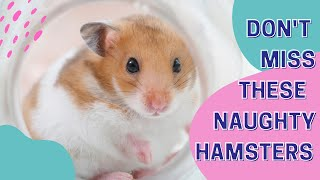 Don't Miss These Naughty Hamsters | Funny and Cute Hamster | Cutest Hamsters in Town